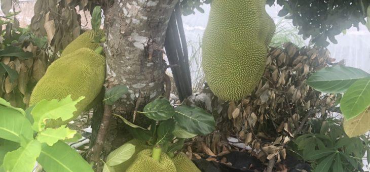 ドリアンブーーム in Taiwan